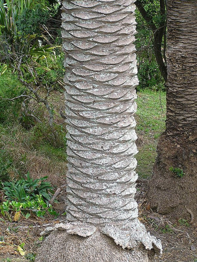 Scribal Terror  Fibonacci Spirals In A Palm Tree Trunk